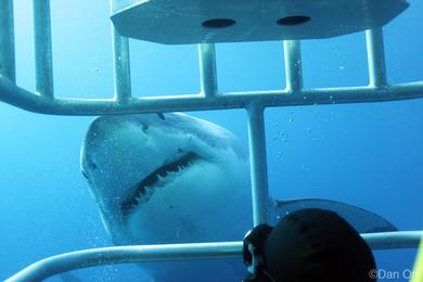 Face to face with Great Whites