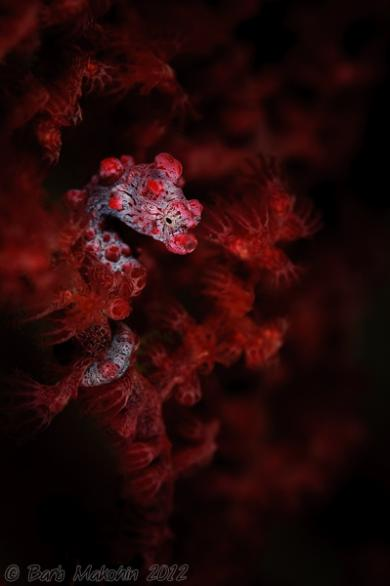 The much desired Pygmy Seahorse